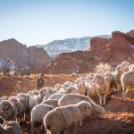 The Shepherd and His Precious Sheep